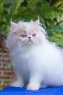 ##### แมวน้อยน่ารัก..ด.ช...สาย แชมป์ CFA...#####