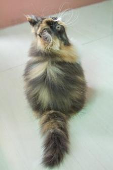 ##### แมวน้อยน่ารัก..ด.ญ 3 สี คาลิโก...สาย แชมป์ CFA...#####