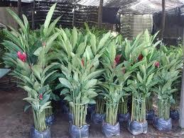 ต้นขิงแดง สวนสมโภชพันธุ์ไม้ Tel: 0890652129