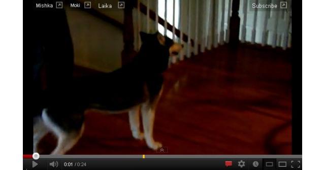 Husky Dog Talking Nooo