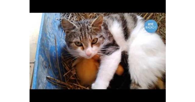 แมวเลี้ยงลูกไก่ นอนให้กินนม